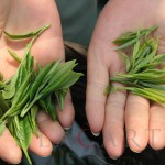 Té verde Bi Luo Chun: uno de los 10 Grand Crus de China Parte I: terroir y cosecha